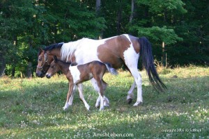 Ohio-Amish-Country-Horses
