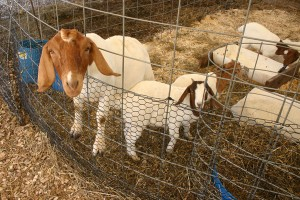Corn-Maze-at-Sharp-Run-Market-Pygmy-Goats