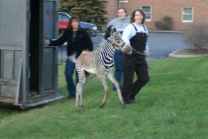 Berlin-Ohio-Christmas-Nativity-Parade-Zebra