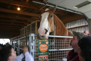 Big-Ben-Belgian-Horse-and-Hershberger's-Farm-&-Bakery